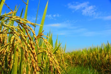 Com atuação da La Niña, produtor deve racionalizar uso de água nas lavouras de arroz