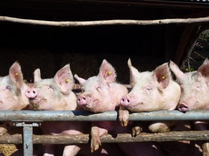 Faturamento com exportações de carne suína é 45% maior em 2017