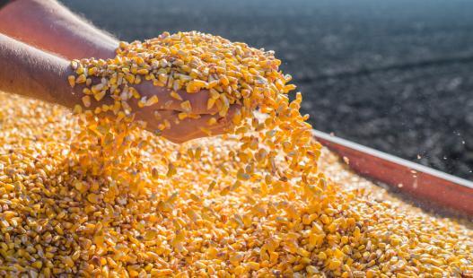 Produção de milho deverá ser recorde no Brasil em 2017