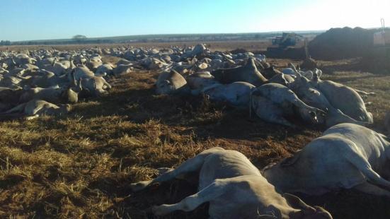Mais de mil cabeças de gado morrem com suspeita de toxicação (Foto: Marca7/Divulgação)