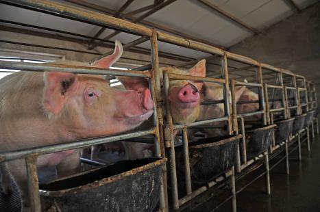 Associação de produtores reivindica corte de no ICMS para venda de suínos
