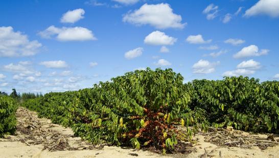 Estiagem tem causado perdas constantes na produção de café do ES