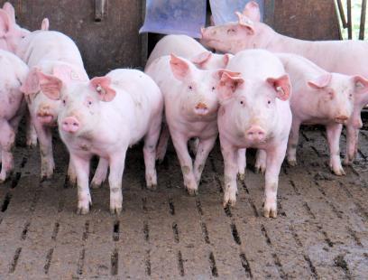 Preço do suíno vivo recua após recuperação do início do ano