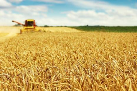 Produção de trigo recua 52% no Rio Grande do Sul