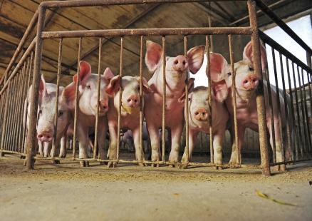 Exportações de carne suína tiveram melhor desempenho em países asiáticos